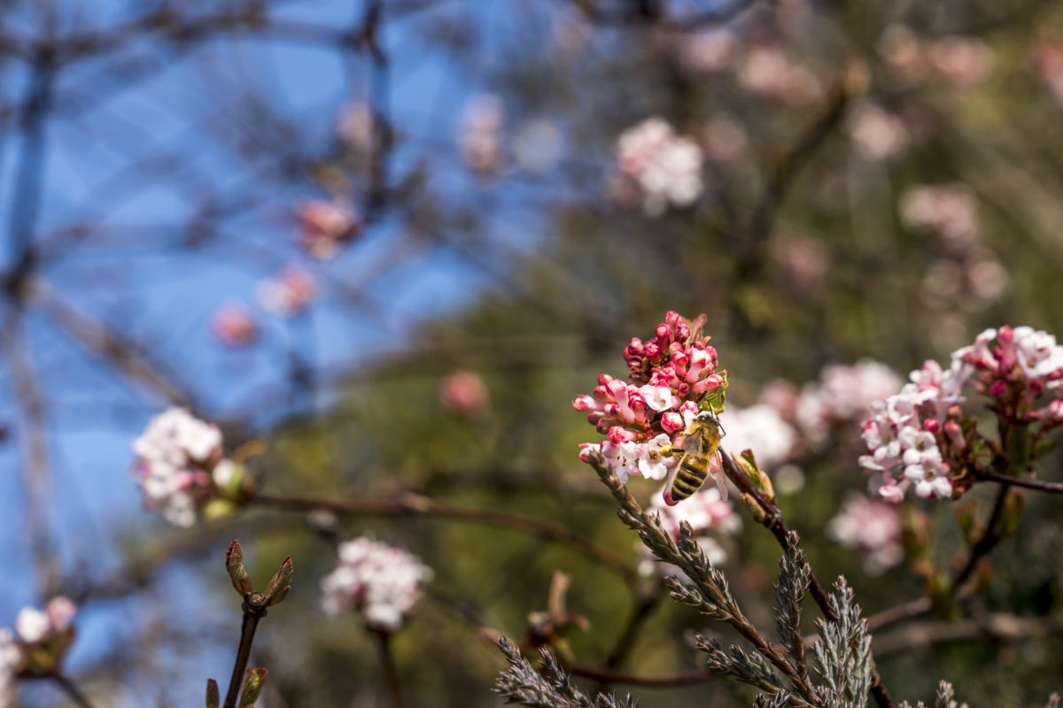 Frühling Blüten und Bienen