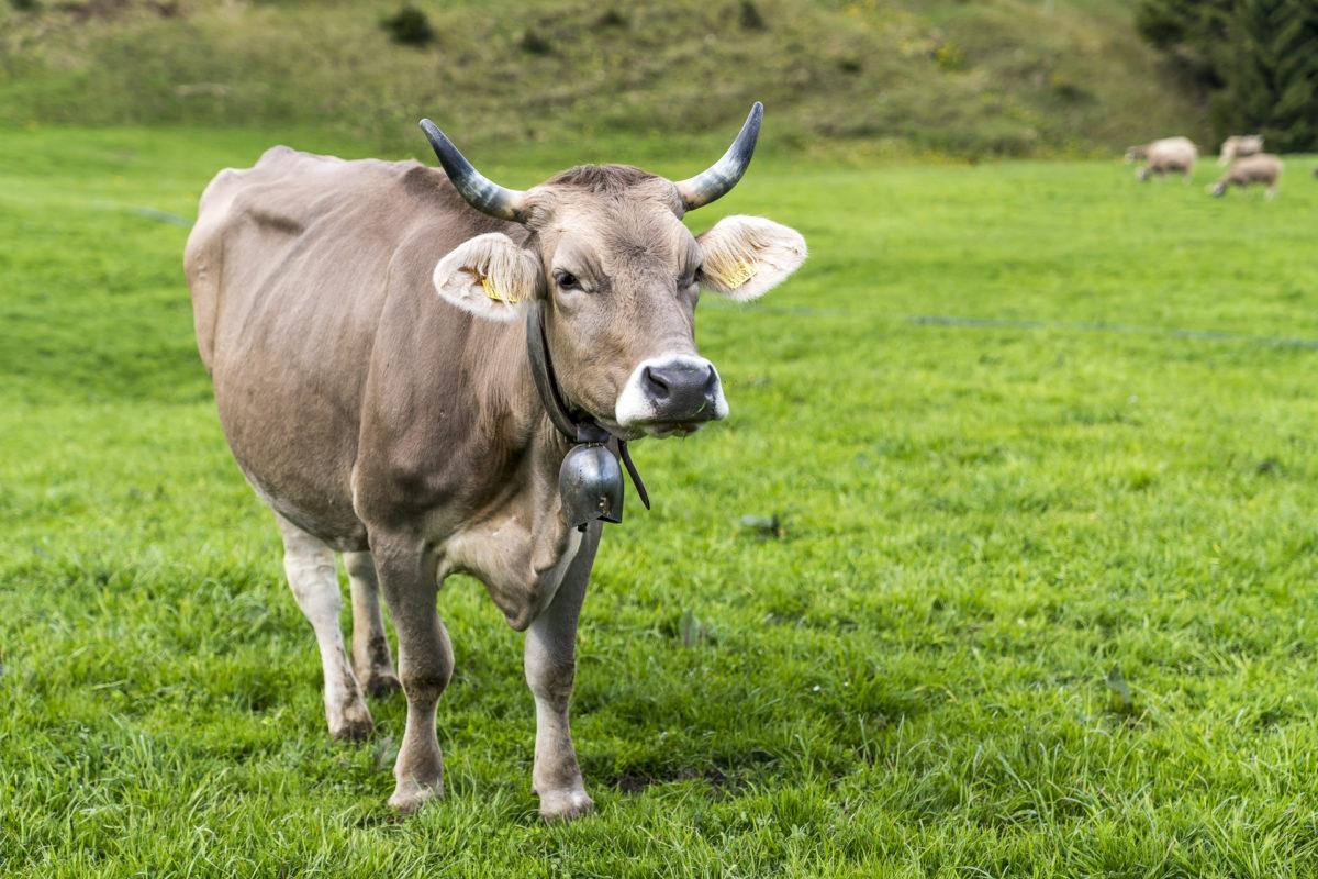 Baumgarten Kühe