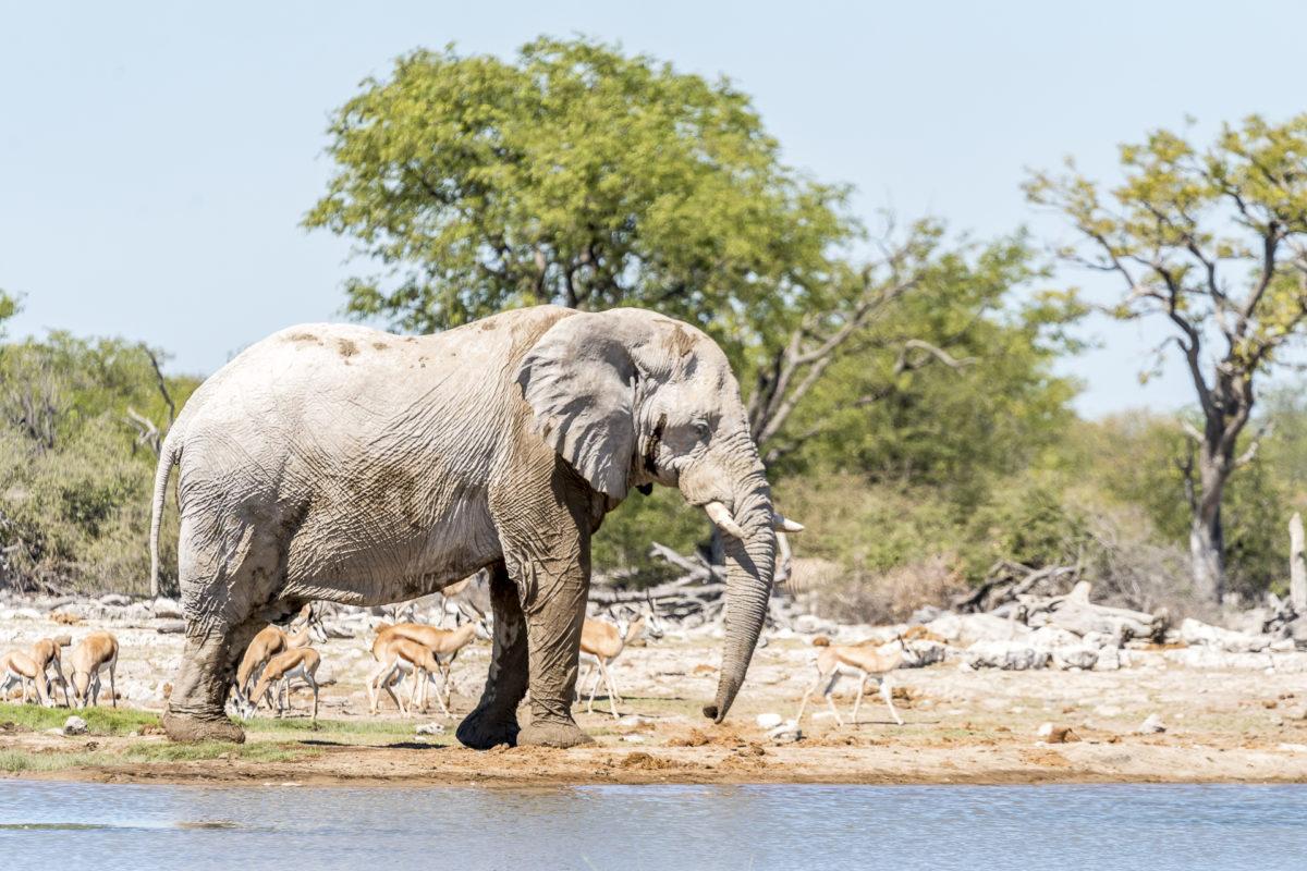 Etosha Nationalpark Elefant