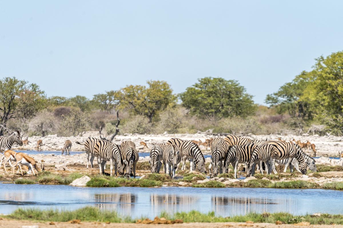 Etosha Nationalpark Tierherden