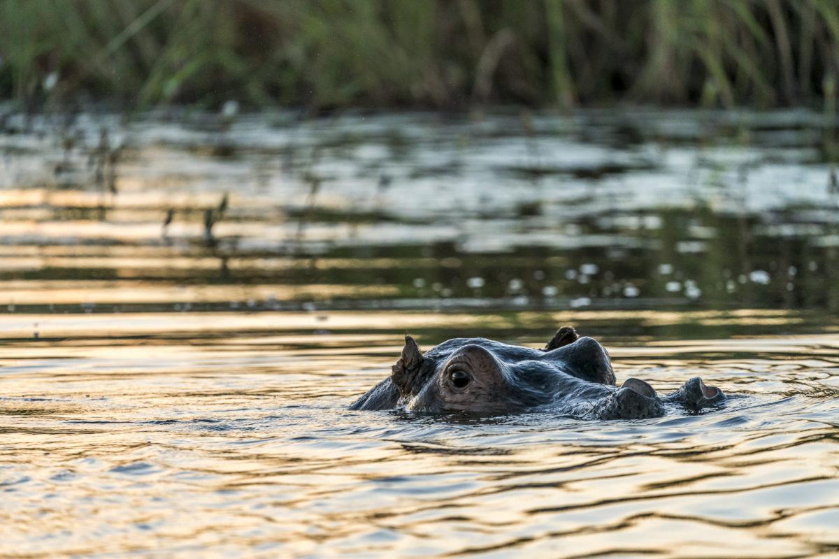 Hippo Namibia