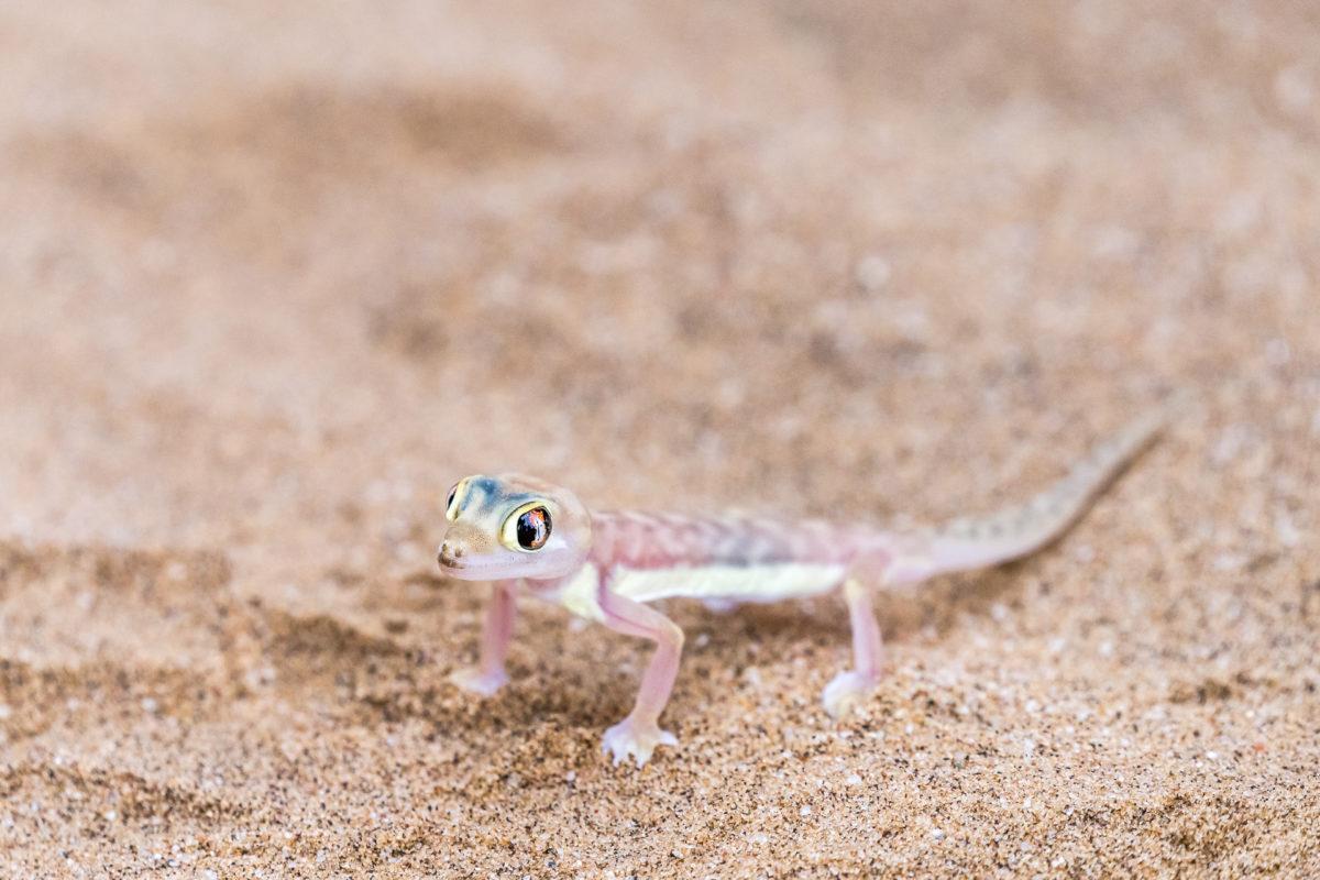 Little Big Five Gecko