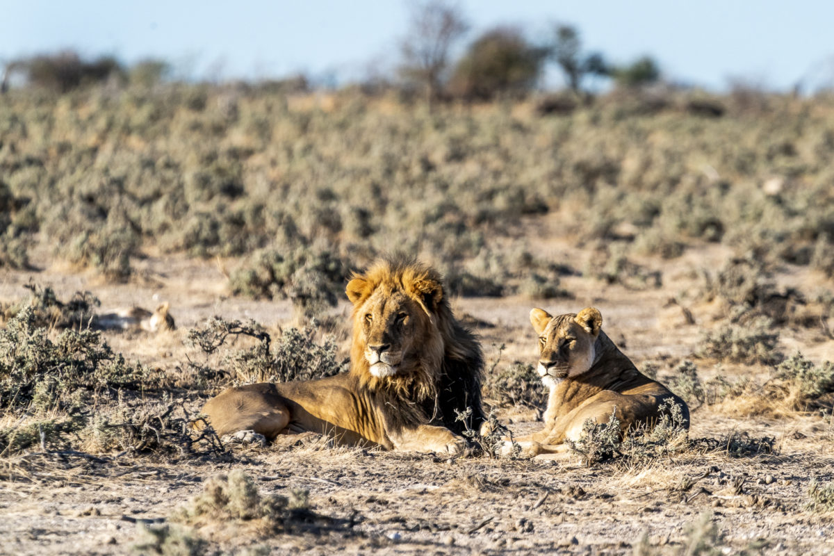 Löwen Etosha Nationalpark