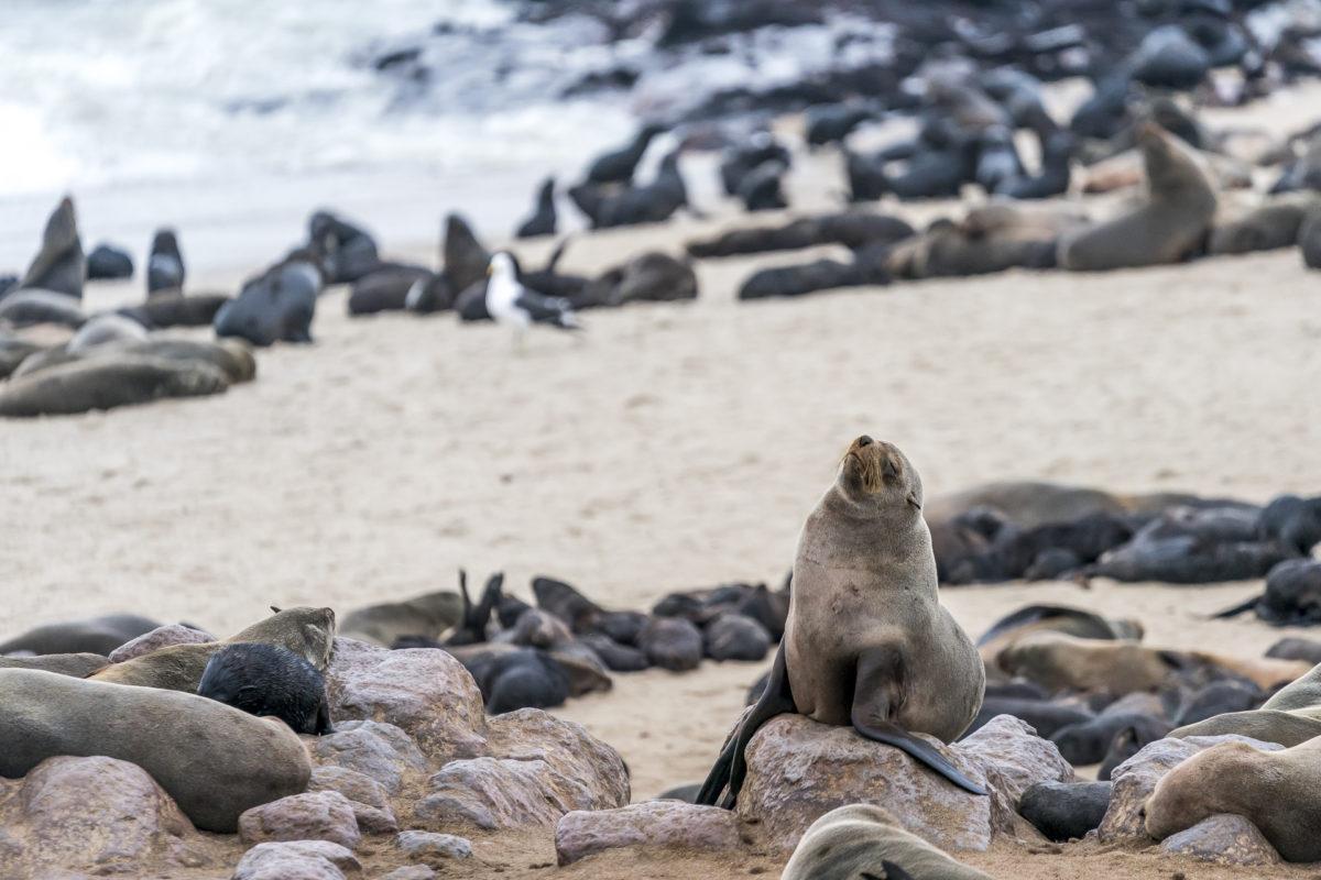 Kreuzkap Seehunde