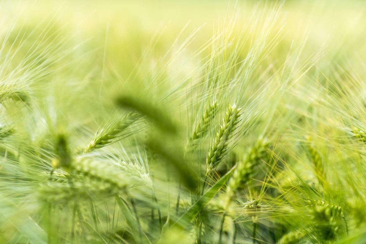 Getreide Landwirtschaft