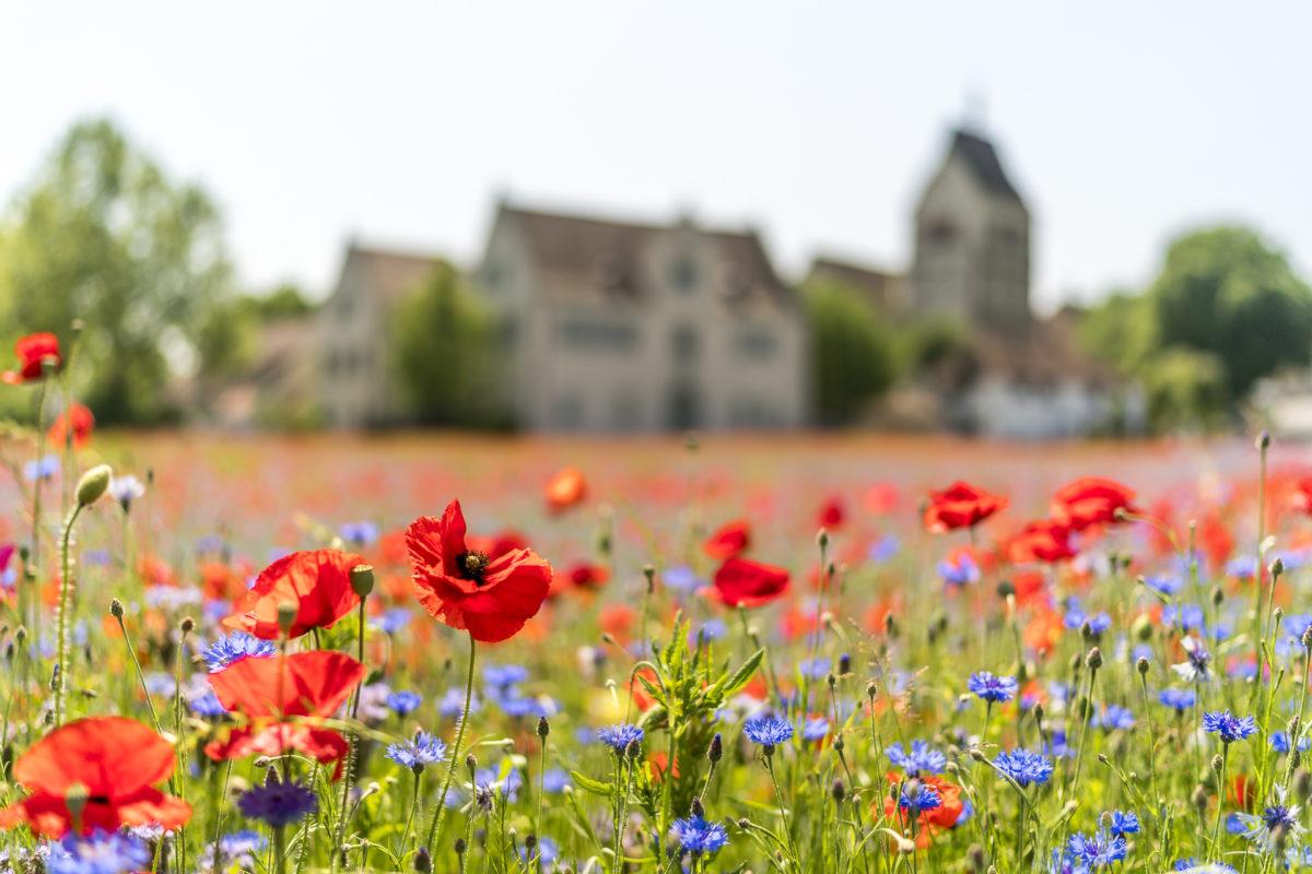 Insel Reichenau Blumen