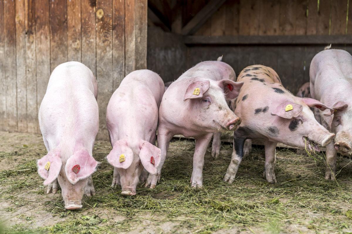 Alpschweine Aussermelang Alm
