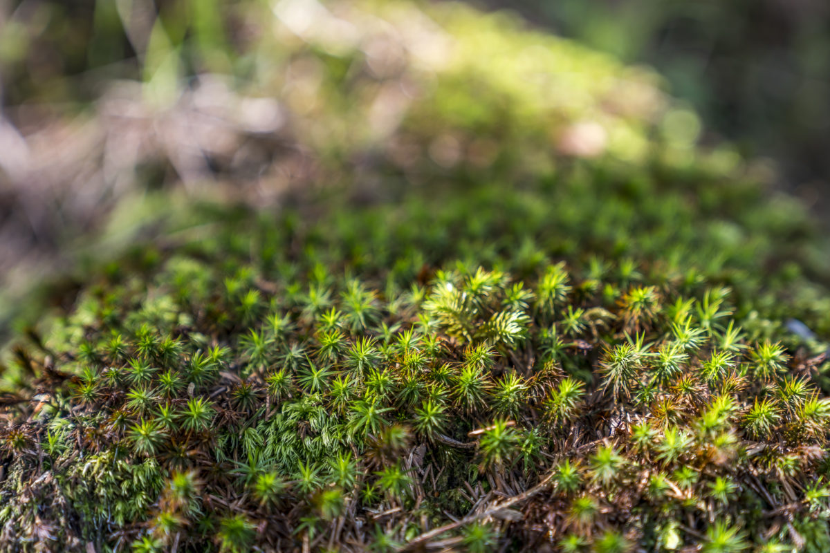 Details Waldpflanze Moos