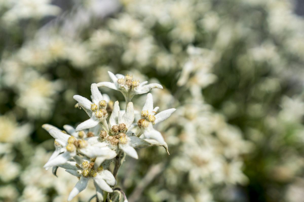 Edelweiss Diwisa Gin