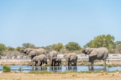 Elefantenherde Etosha Nationalpark