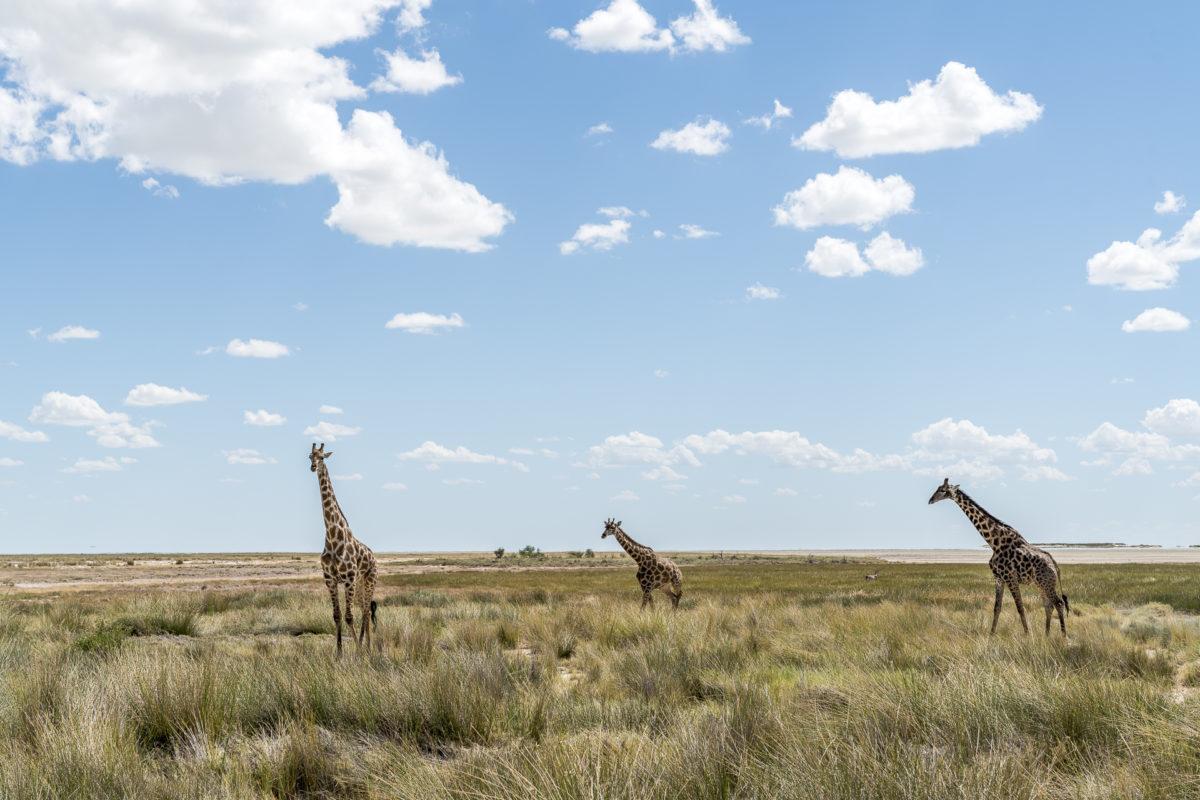Giraffe Savanne