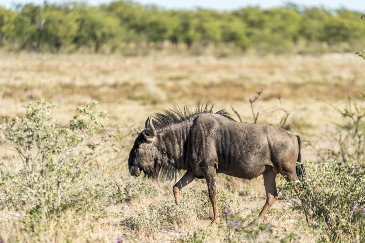 Gnu Etosha Nationalpark