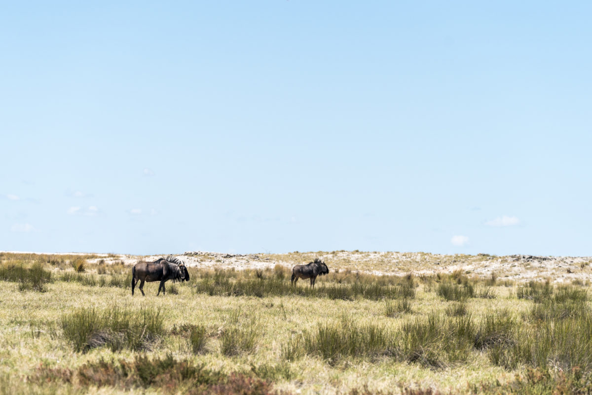 Gnus Etosha Nationalpark