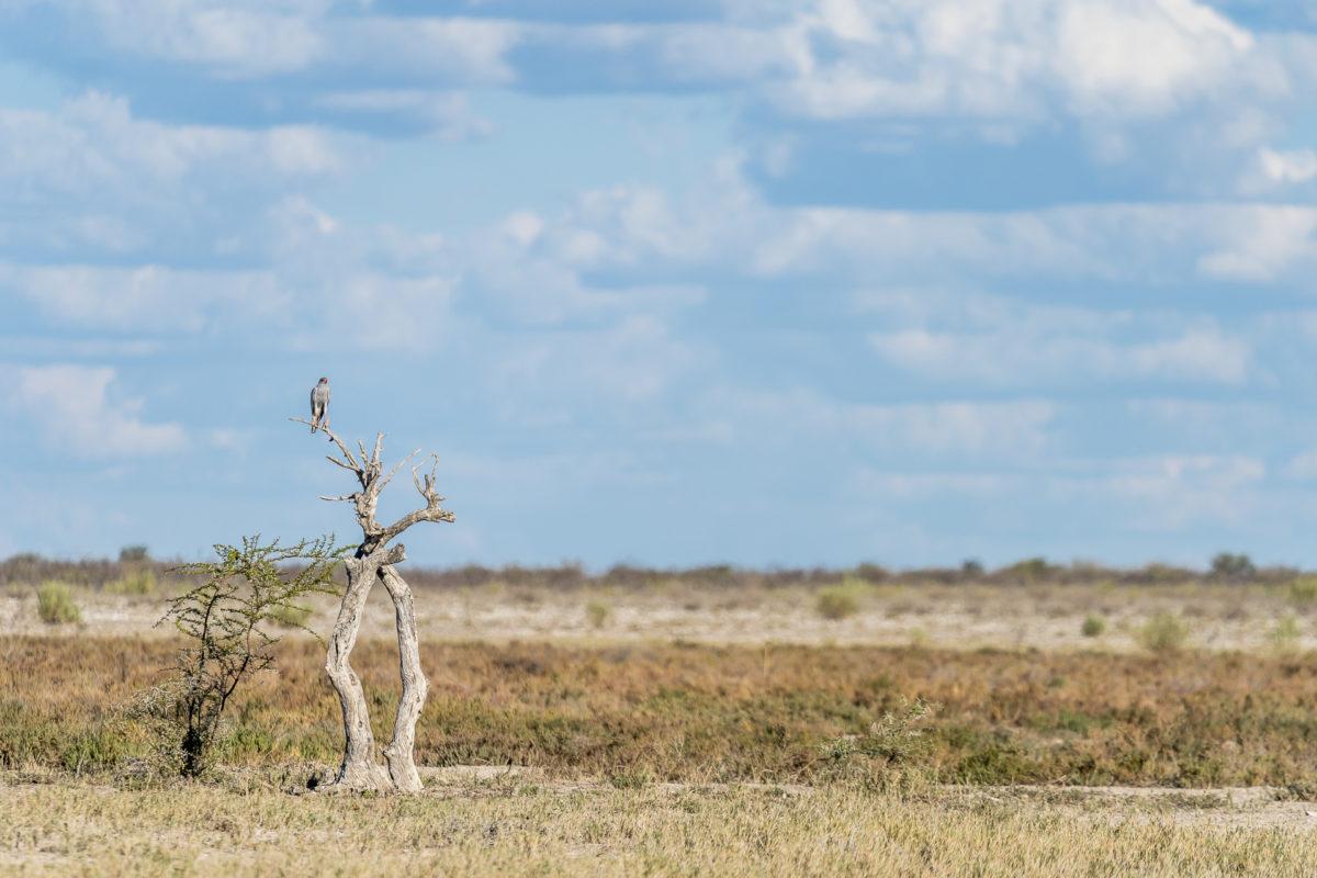 Greifvogel im Etosha Nationalpark