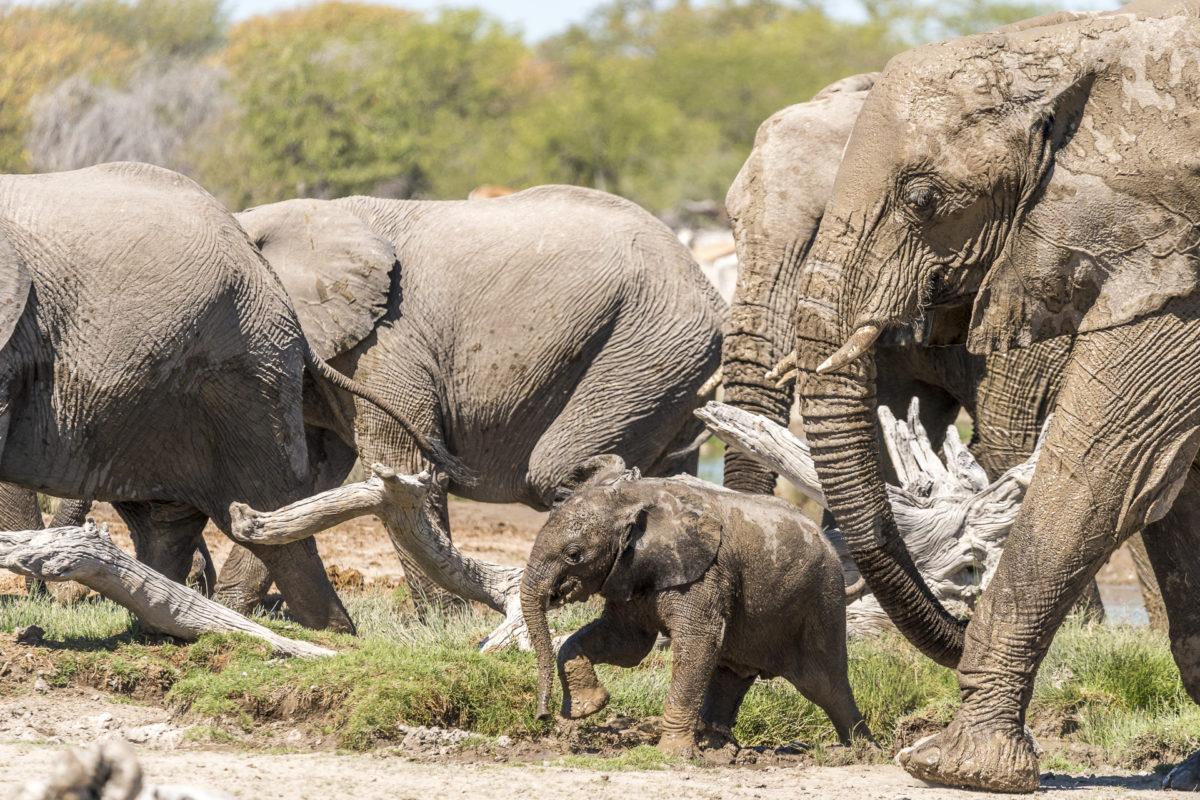 Junger Elefant mit Herde