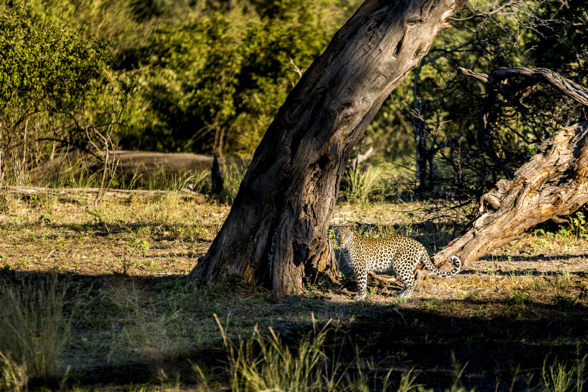 Leopard im Bwabwata Nationalpark