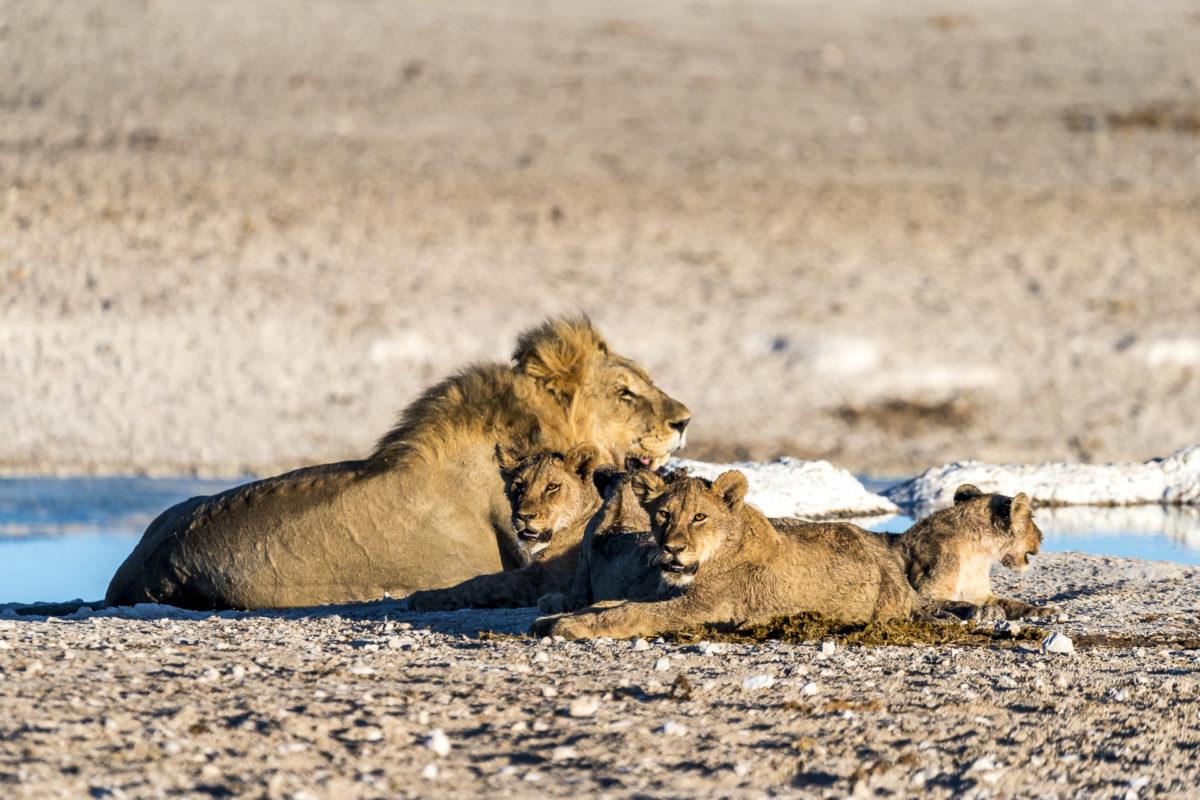 Löwenfamilile im Etosha Nationapark