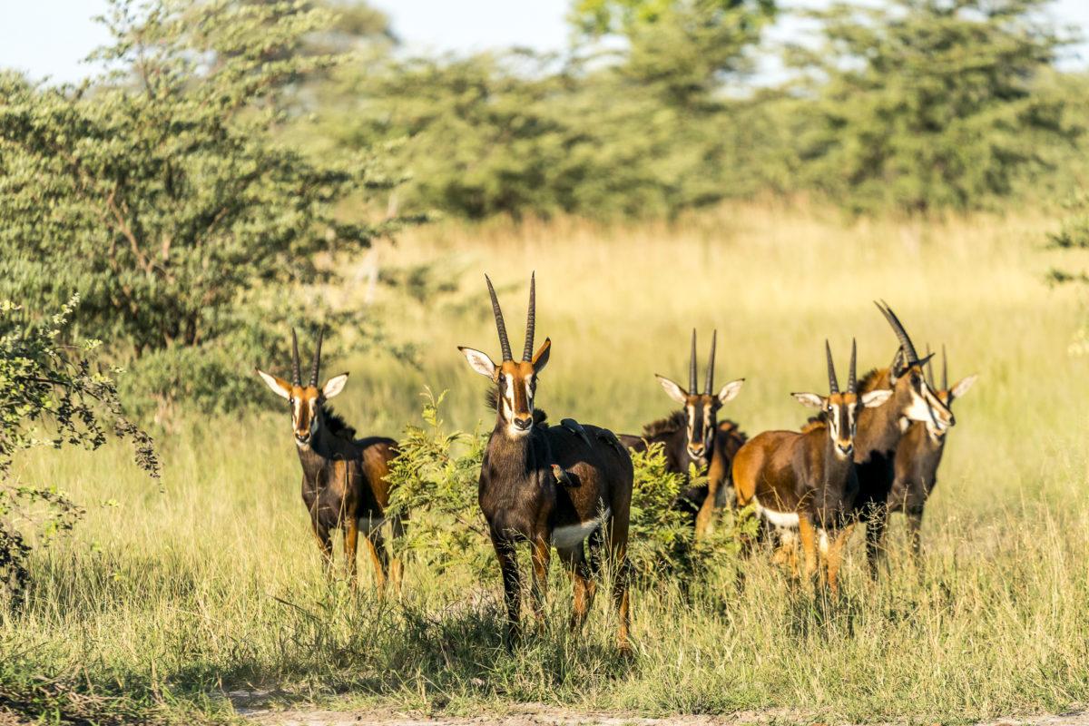 Rappenantilopen im Bwabwata Nationalpark