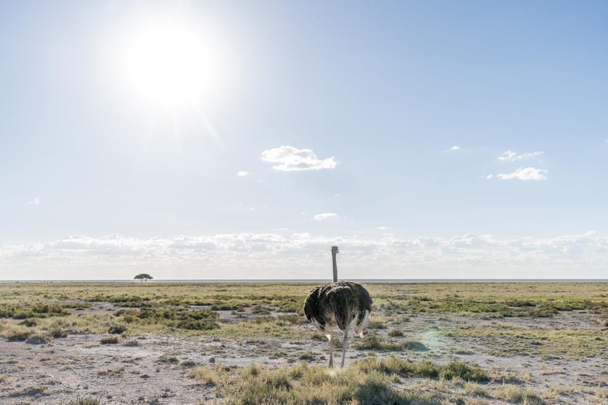 Strauss im Etosha Nationalpark