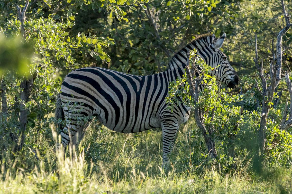 Zebra im Bwabwata Nationalpark