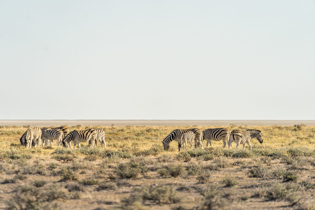 Zebras Safari