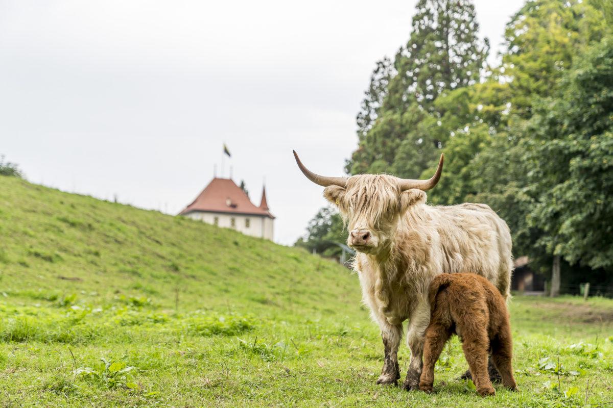 Schottisches Hochlandrind Seetal
