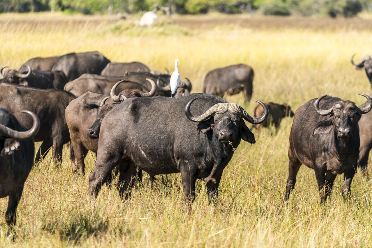 Büffel Okavango Delta