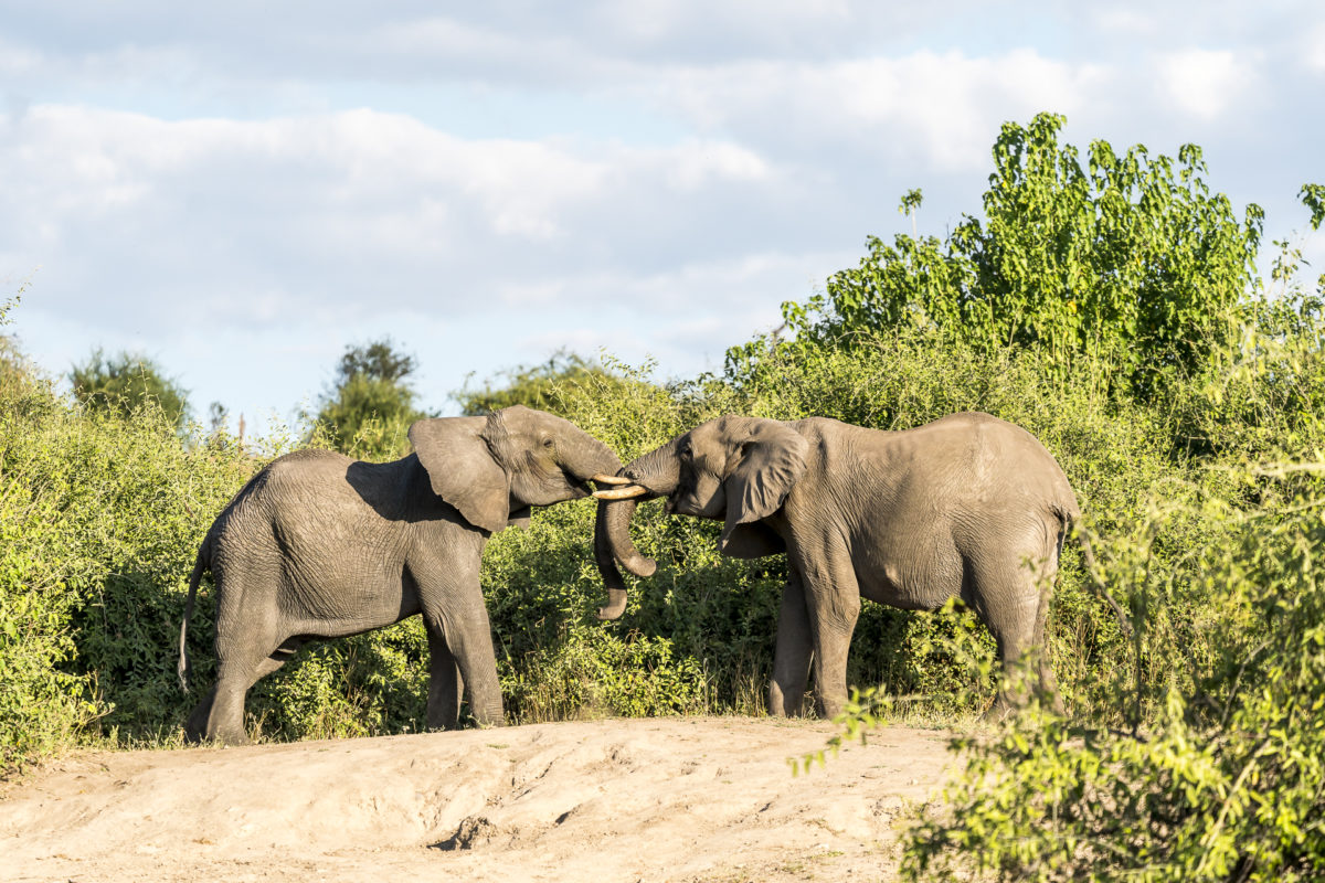 Chobe River Elefanten