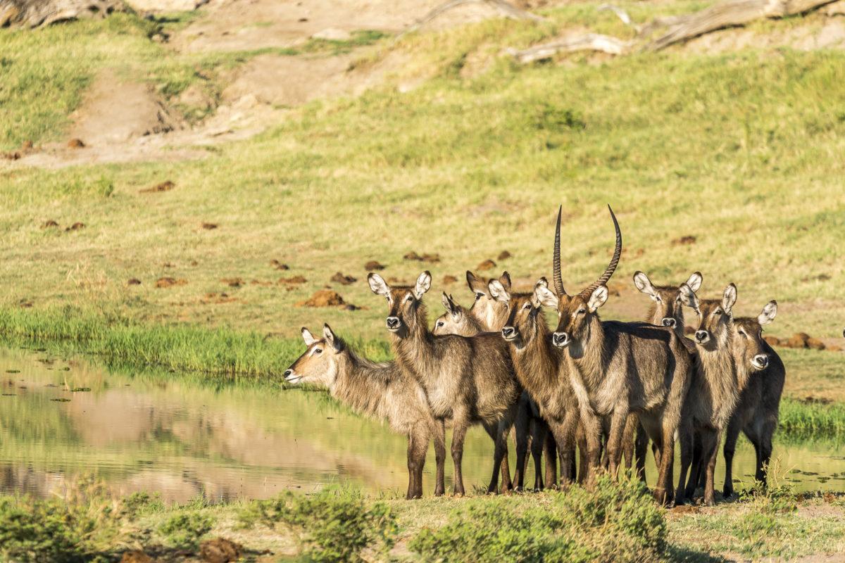 Chobe River Wasserböcke
