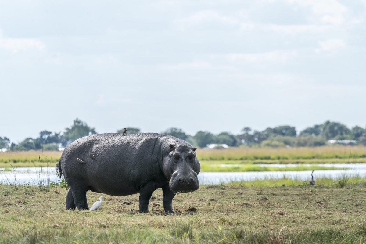 Hippo Chobe River