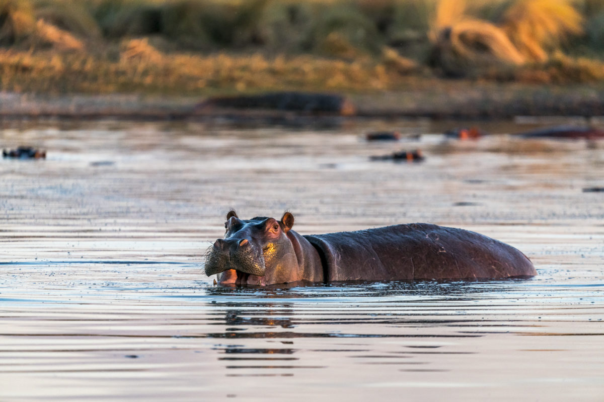 Hippo Okavango Delta