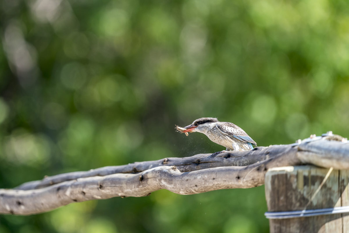 Kingfisher Okavango Delta