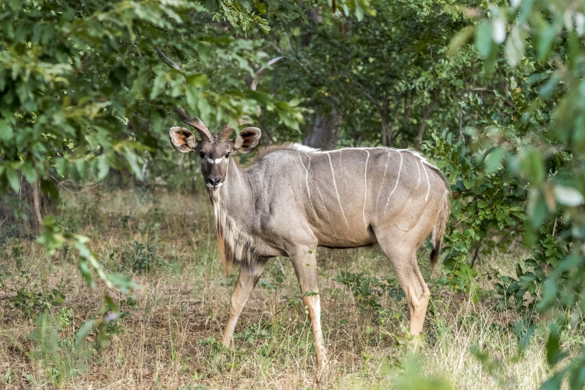 Kudu Chobe Nationlpark