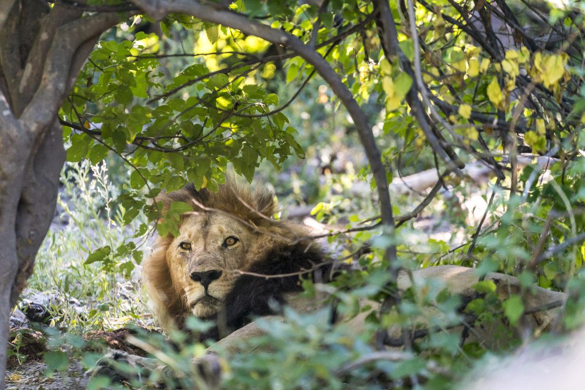 Löwe Okavango Delta