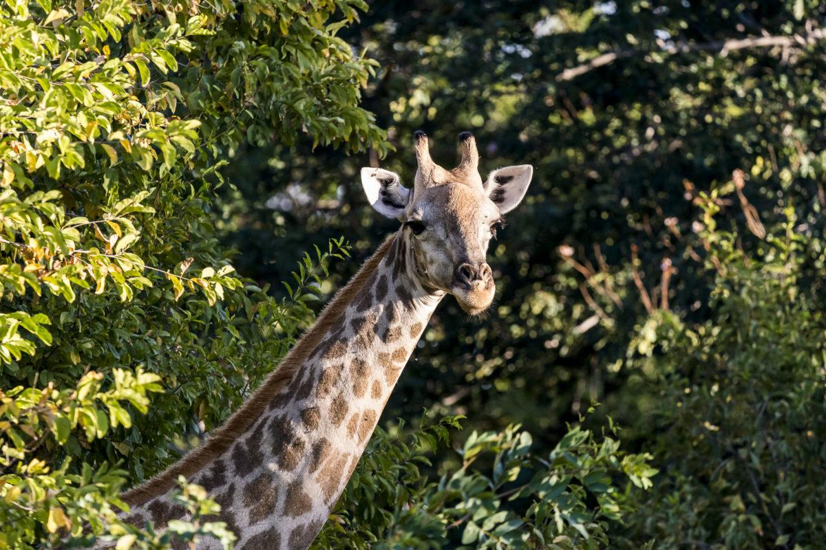 Okavango Delta Giraffe