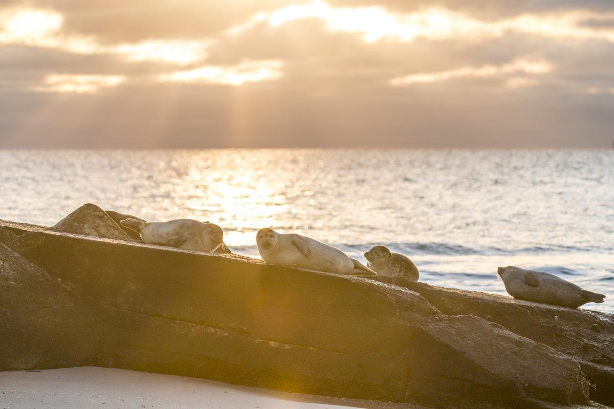 Robben im Morgenlicht