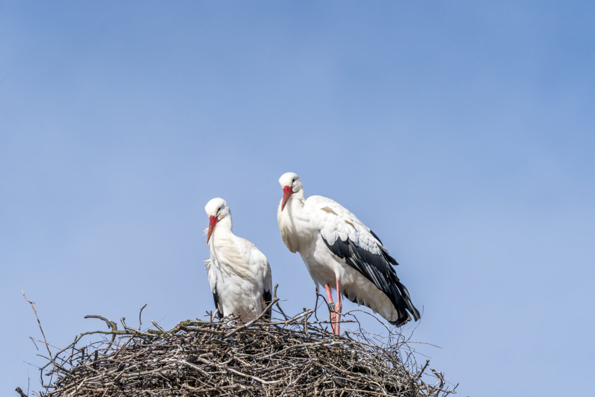 Storch in Pfäffikon