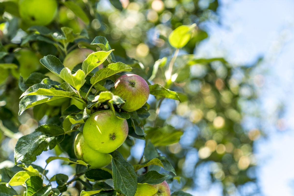 Thurgau Apfel