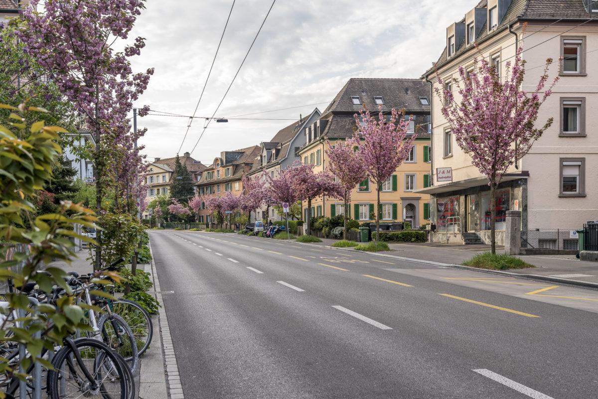 Wipkingen Kirschblüte