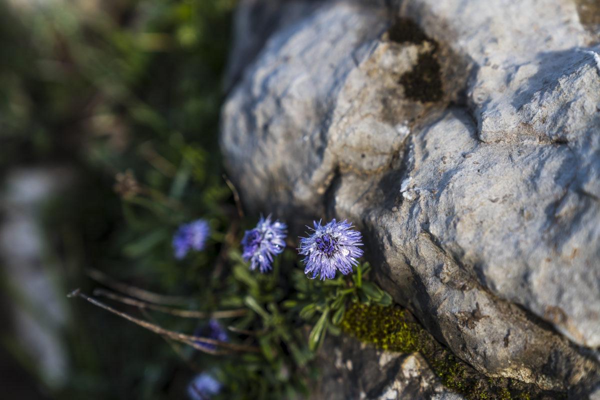 Karst Blumen