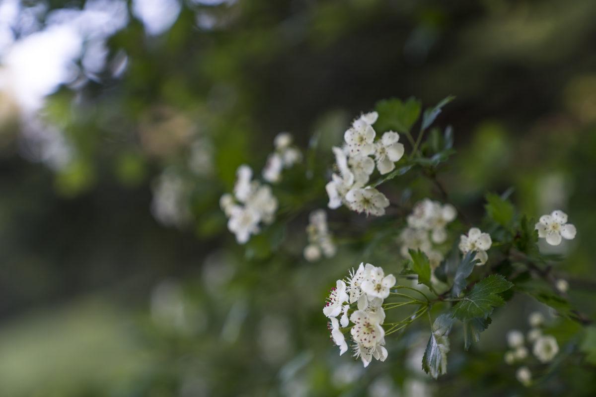 Wilde Holunderblüte