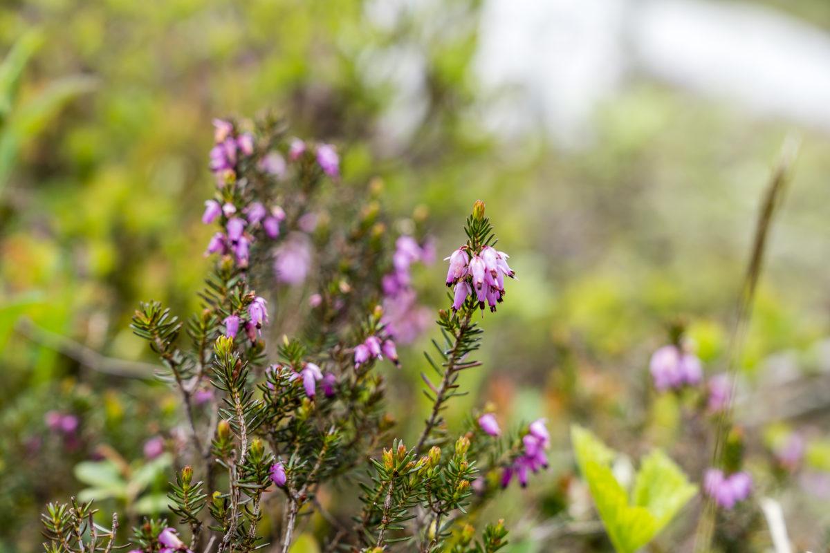 Flora Bödmeren