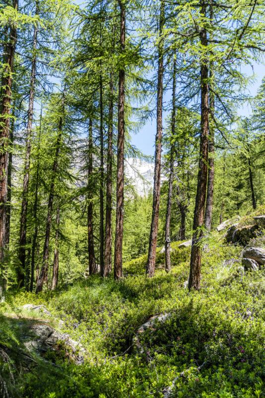 Wald im Val d'Ayas