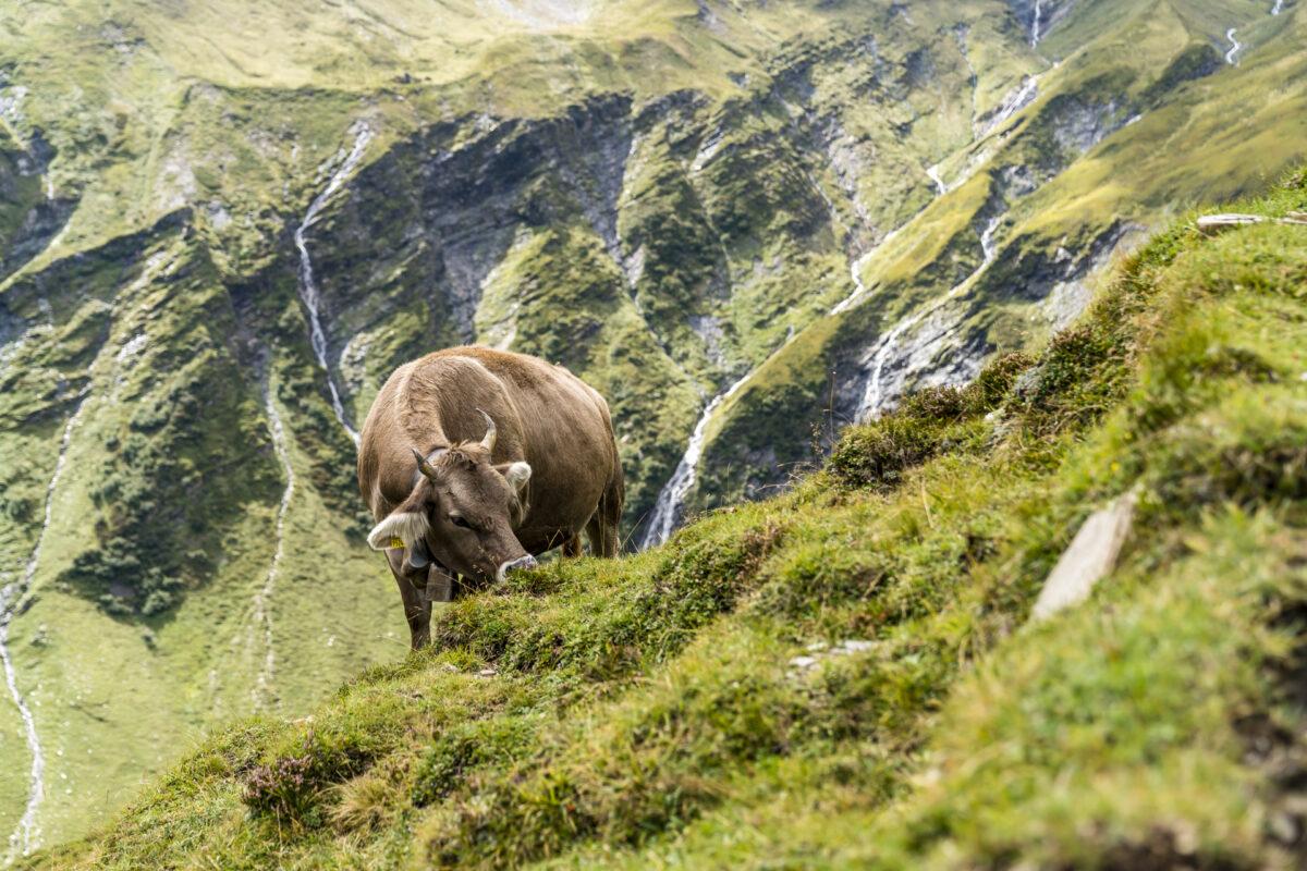Surselva Alp Kuh