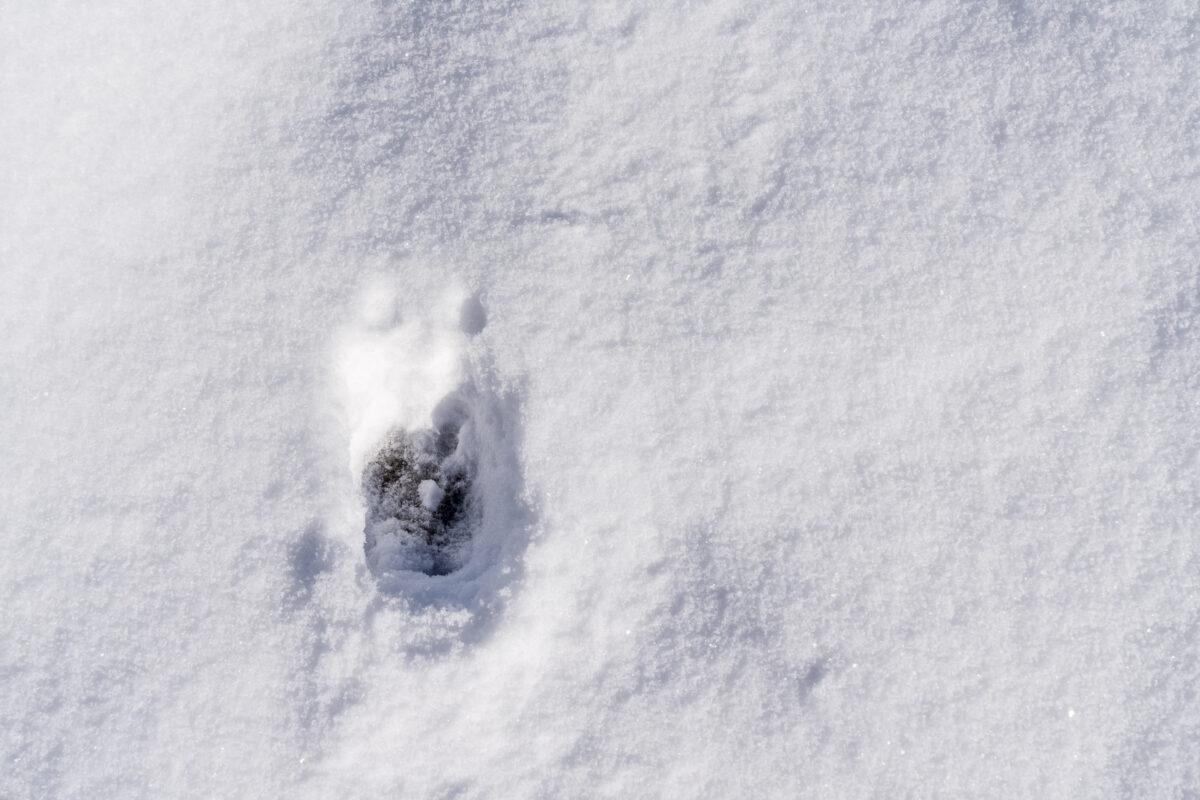 Hirschfährte im Schnee