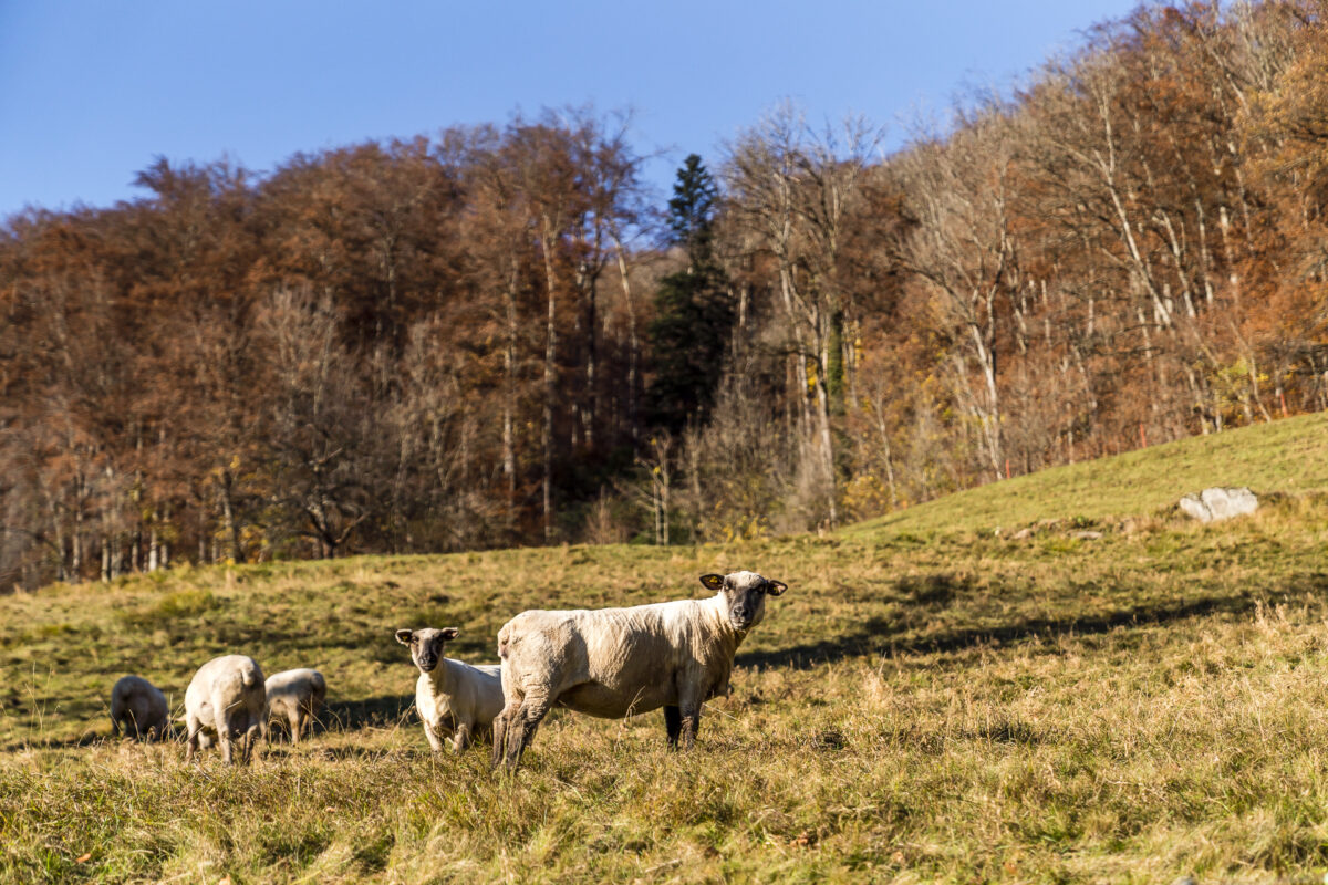 Schafe im Rheintal