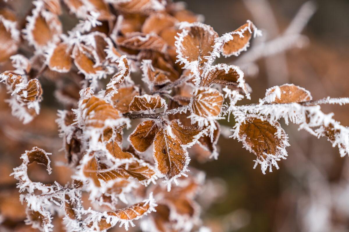 Frost an Blätter
