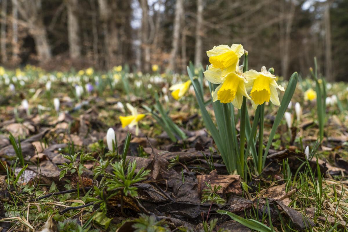 Blüte Osterglocken