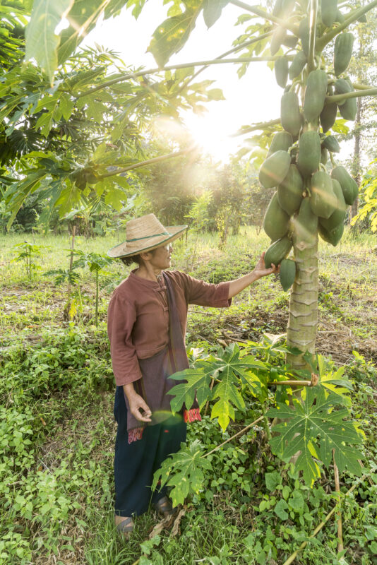 Nordthailand Papaya