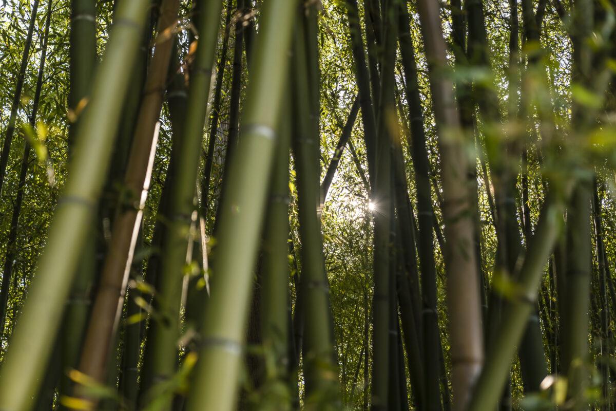 Bambus Brissago-Inseln